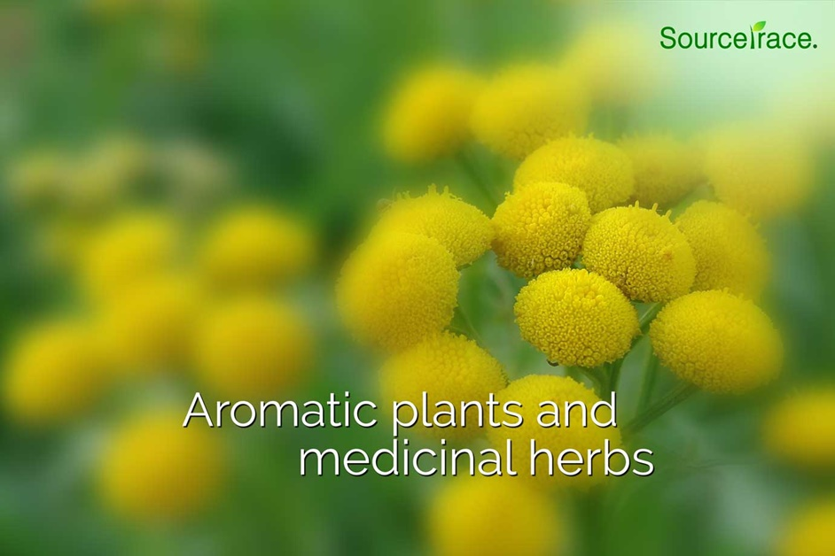 aromatic plant and herbs