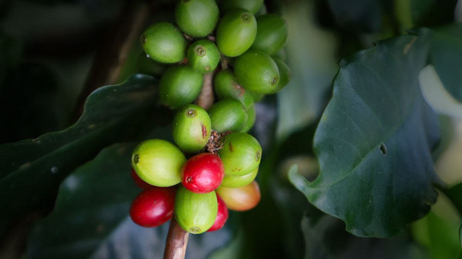 Coffee Supply Chain - Traceable Blockchain Solutions: for your Cuppa Coffee