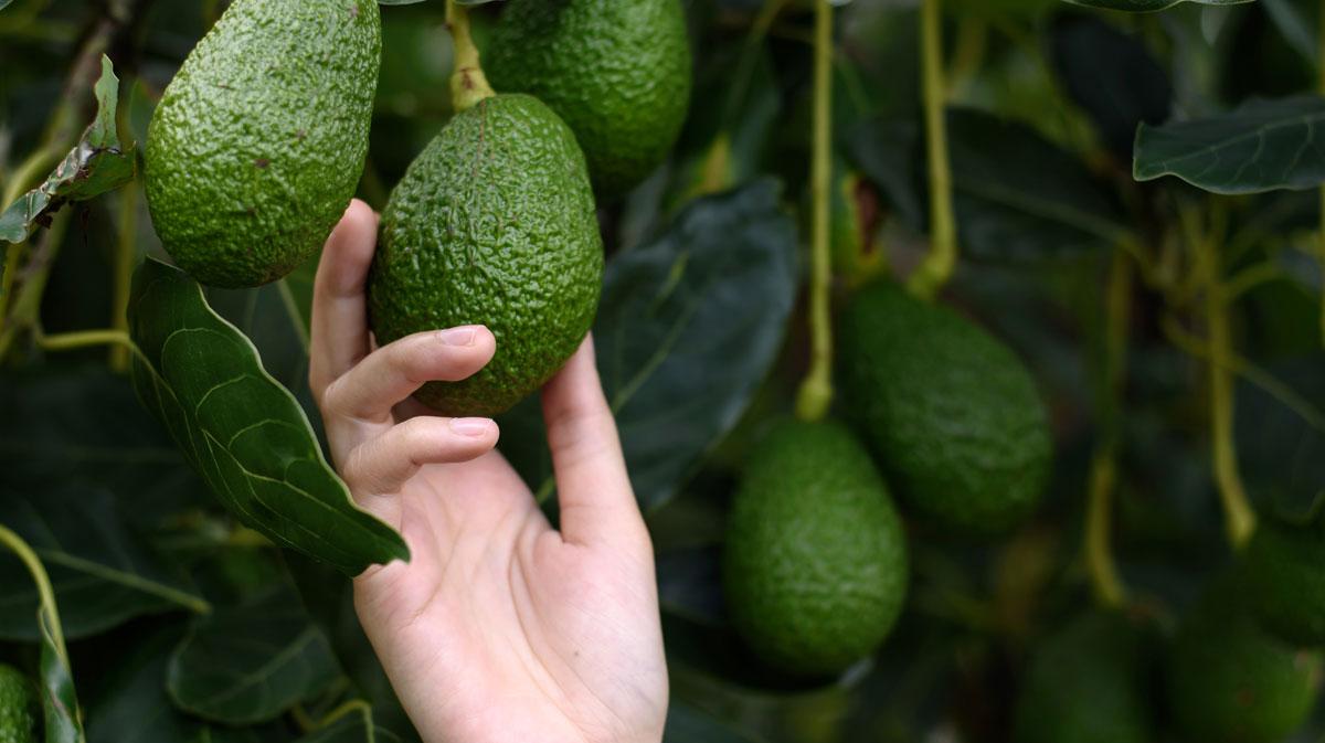 Premium Produce - The Fragile Supply Chain